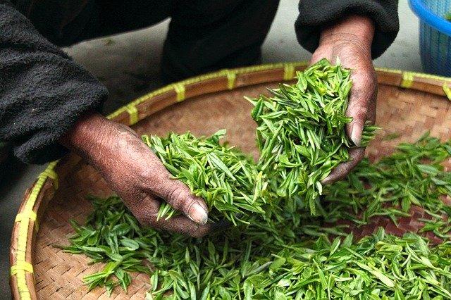 thé-vert-grossesse